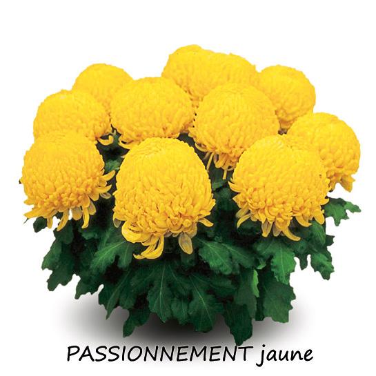 chryzantemy żółte
