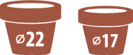 chryzantemy doniczkowe